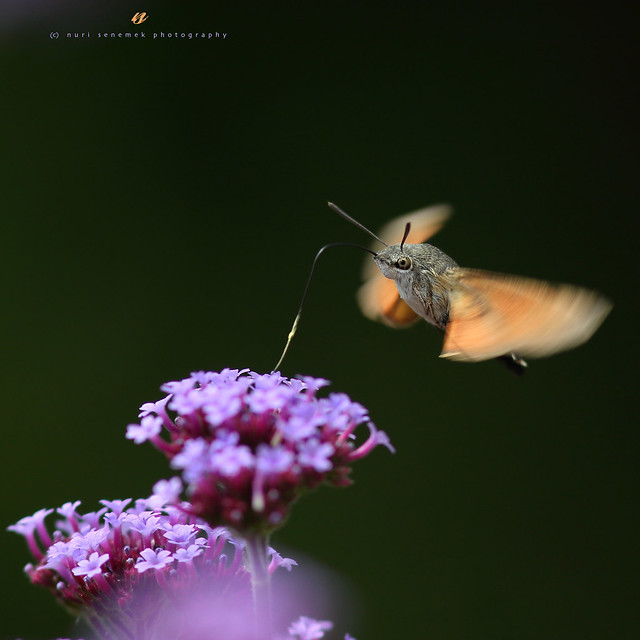 Hummingbird hawk-moth / Moro-sphinx