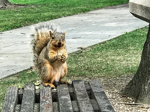 Hungry squirrel at I80 Three Rivers rest stop | by dschirf