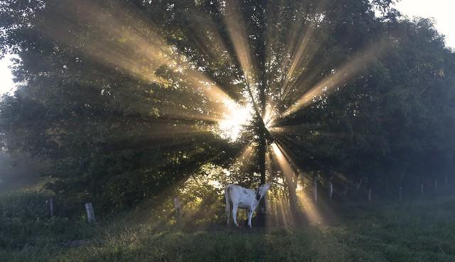 Rinder zählen im Morgennebel - Kuh an der Tränke; Bergenhusen, Stapelholm (12)