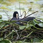 Blässhuhn (Fulica atra) auf seinem schwimmenden Nest im NSG Heisinger Bogen
