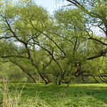 Frühlingsgrün in der Heisinger Ruhraue