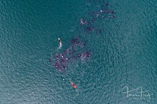 Herding whales | by Tómas Freyr