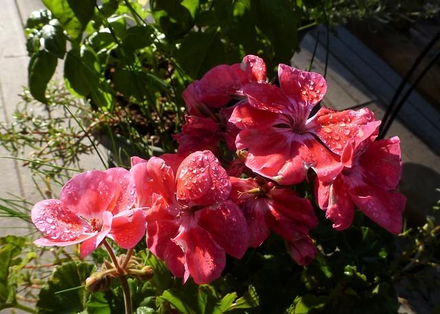 Dewy Geraniums