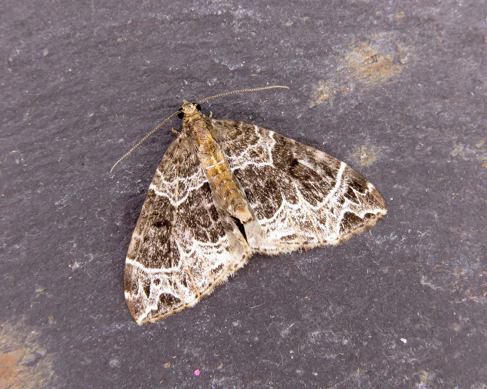 70.089 Phoenix - Eulithis prunata