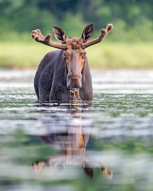 Moose Buffet...{Explored}