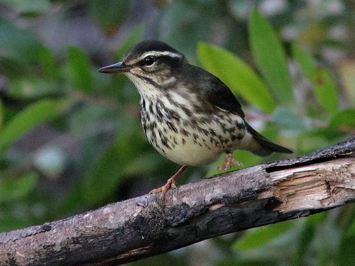 Louisiana Waterthrush 06-20180816