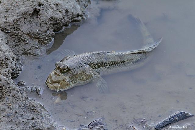 Périophthalme / Periophthalmus gracilis / Mudskipper