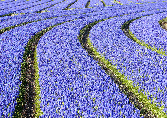 Rows of Grape hyacinths, the Netherlands
