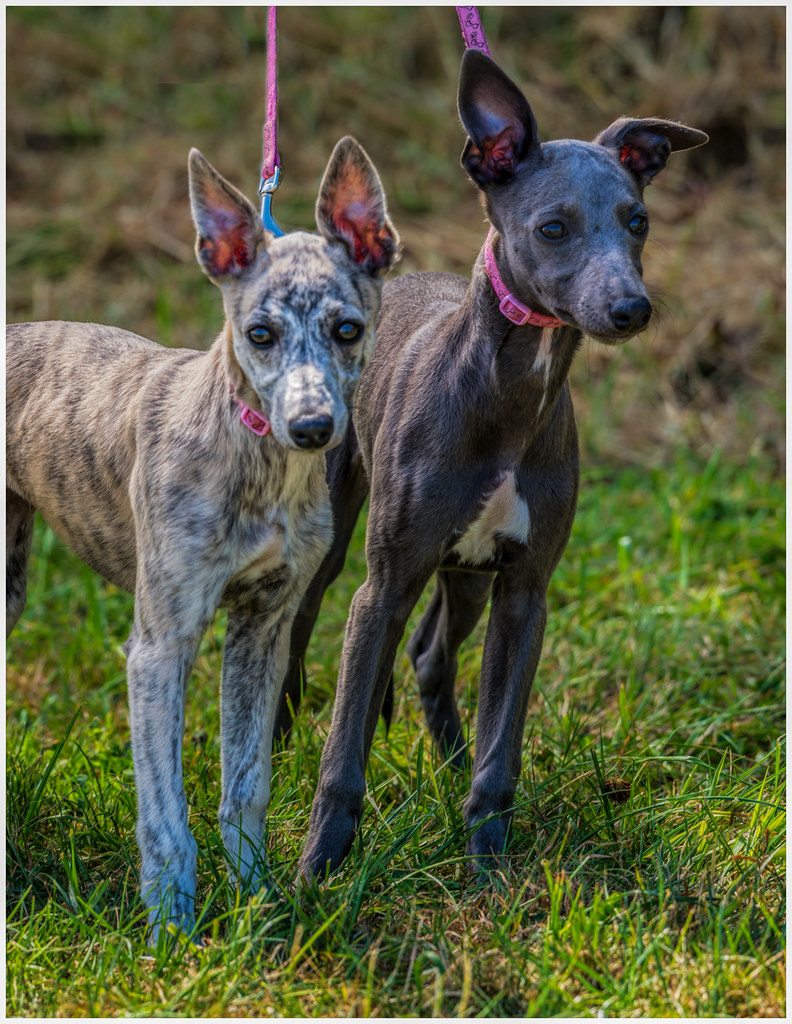 Whippet Puppies Dogs For Sale In South Africa