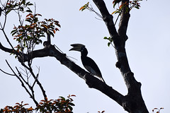 Oriental Pied Hornbill (Anthracoceros albirostris), Tanjung Puting NP, Central Kalimanan (Borneo), Indonesia