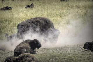 Bison rut kicking dust 1_DSC0559-Edit   by alnbbates