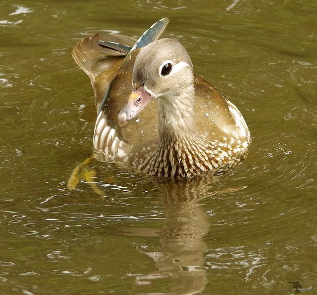 female manderin duck (4)