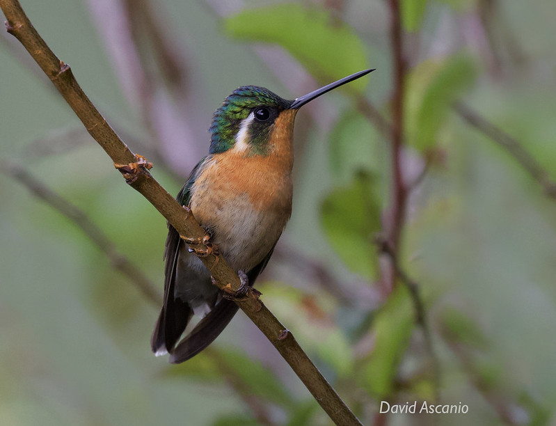 Purple-throated Mountain-Gem, Lampornis calolaemus_199A4647