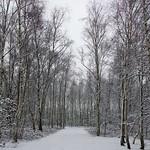 Der aus Hängebirken (Betula pendula) bestehende Industriewald im Gleispark Frintrop im Winter