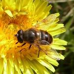 Mistbiene (European Hoverfly, Eristalis tenax), Männchen