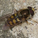 Gemeine Feldschwebfliege (Migrant Hoverfly, Eupeodes corollae)