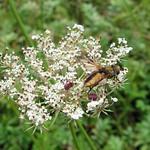 Breitflügelige Raupenfliege (Ectophasia crassipennis) in unmittelbarer Nähe des Oefter Tals