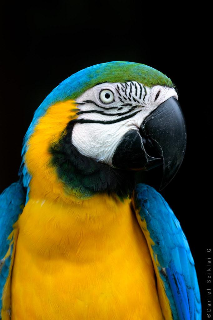 Guacamayo Azulamarillo. Blue-and-yellow Macaw. Ara ararauna