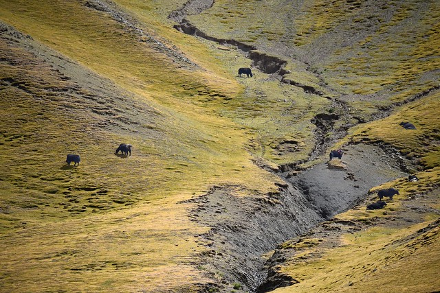Yak in Ngamring county,Tibet 2107