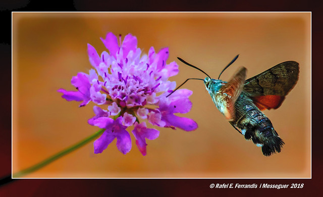Bufaforats o papallona colibrí 13 (Macroglossum stellatarum) Hummingbird Hawk-moth