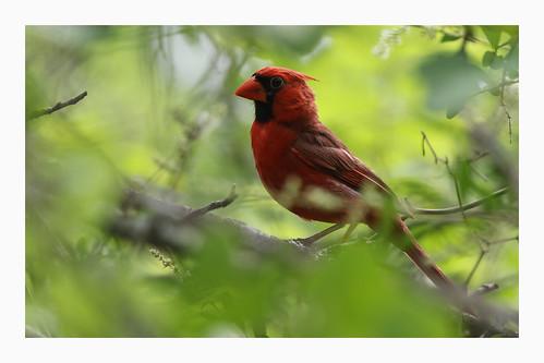 america northerncardinal cardinaliscardinalis bird red redbird clearcreek texas canon wild nature leaves foliage tree branch canon7dii canon100400ii