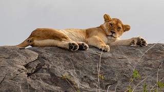 Simba - lion on kopje | by Laura Jacobsen