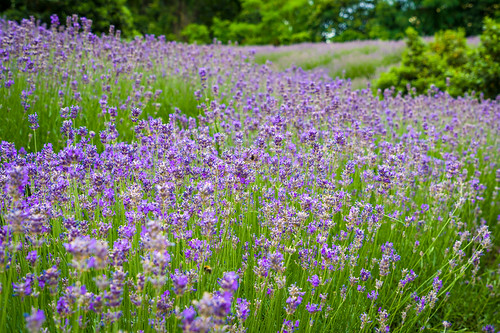 Lavendelfeld Mainz   by salomon10