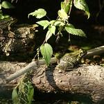 Teichfrosch (Pelophylax esculentus) in der Heisinger Ruhraue