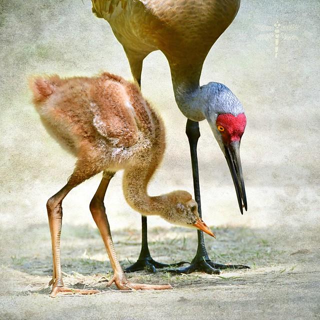 sandhill crane (Antigone canadensis) . . .