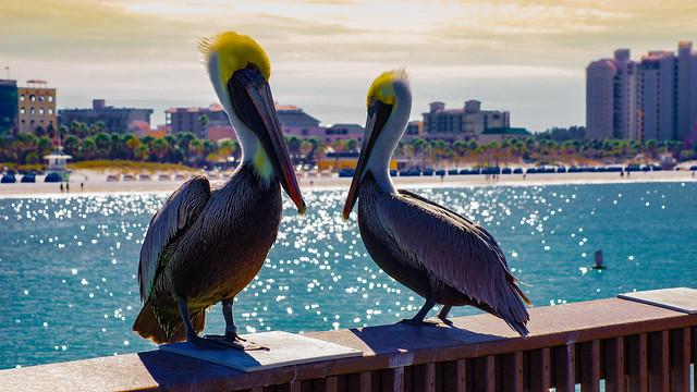 Pelicans...