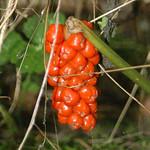 Früchte des Gefleckten Aronstabs (Arum maculatum agg.) im Oefter Tal