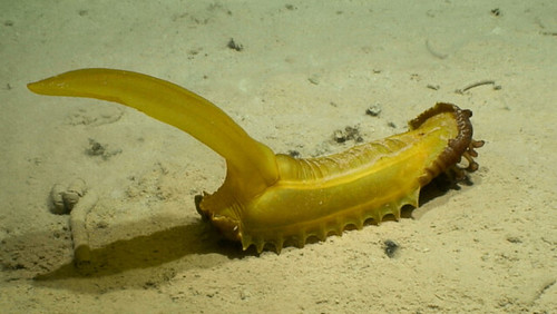 Sea Cucumber | by NOAA Ocean Exploration & Research