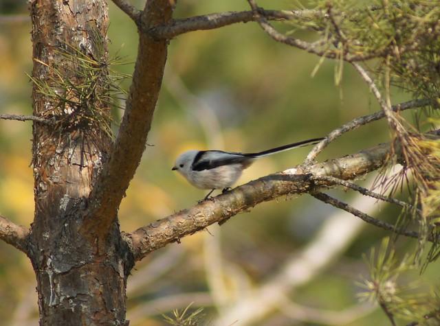 Long-tailed Tit, Aegithalos caudatus, Ополовник