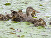 Northern Shoveler with her ducklings by lamoustique
