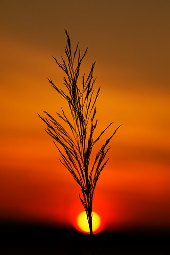 silhouette nature outdoors reed dawn daybreak sunrise sunlight sun riverbank humberestuary northlincolnshire orangeskies sky eos5dmkiv sp70200mmf28 poaceae plantlife canon 2018
