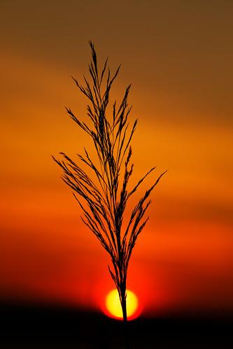 silhouette nature outdoors reed dawn daybreak sunrise sunlight sun riverbank humberestuary northlincolnshire orangeskies sky eos5dmkiv sp70200mmf28 poaceae plantlife canon 2018