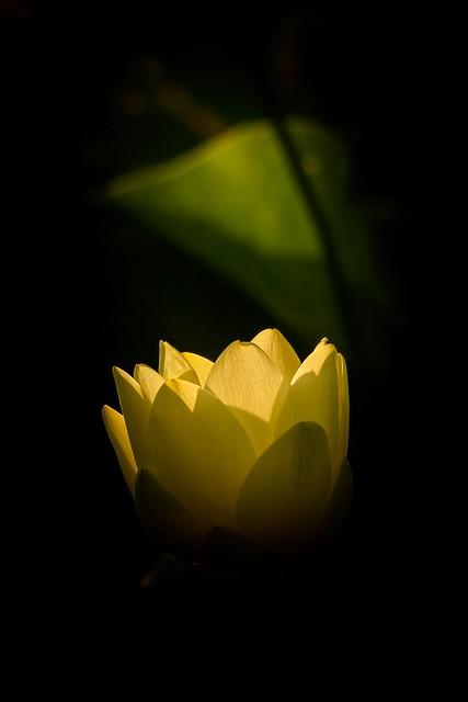 Spot Light Lotus Flower