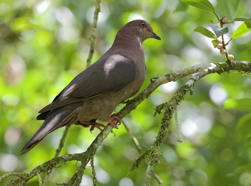 Short-billed Pigeon, Patagioenas nigrirostris_199A6723