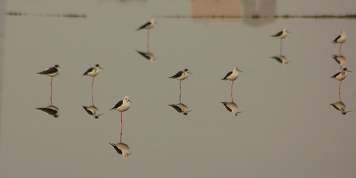 Pernilongos // black-winged stilt | by jvverde