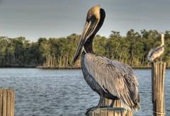 Pelicans In Everglades   by Bob Jagendorf