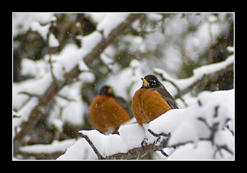 Twin Robins | by Donnie Ray