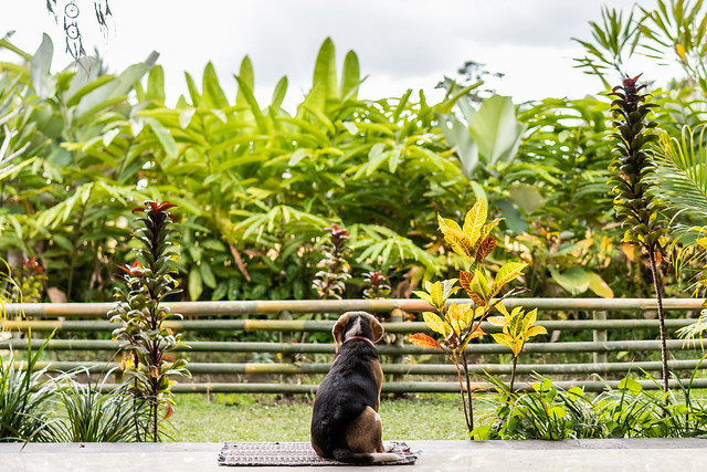 Beagle dog in the tropical garden of Bali island. Back view.