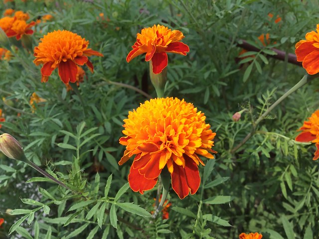 These fluffy marigolds are called 'Tiger Eyes'