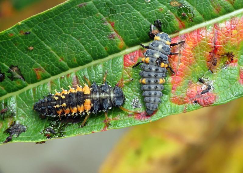 Harlequin Ladybird - Harmonia axyridis and 7-spot Ladybird - Coccinella septempunctata