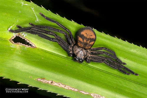 Huntsman spider (Damastes sp.) - DSC_9497 | by nickybay