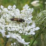 Hautflügler auf der Blüte einer Wilden Möhre (Daucus carota) in der Heisinger Ruhraue