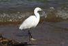 Egretta garzetta (Little Egret) - Entebbe. Uganda by Nick Dean1