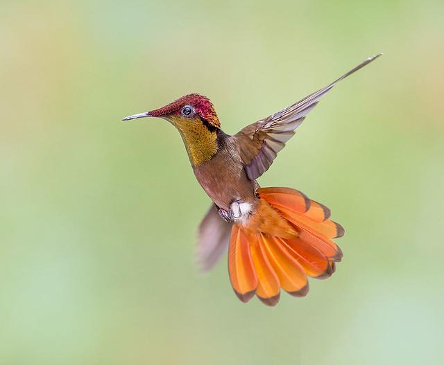 Ruby Topaz Hummingbird in flight. (Chrysolampis mosquitus)
