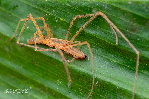 Long-jawed spider (Donuea sp.) - DSC_8618 | by nickybay