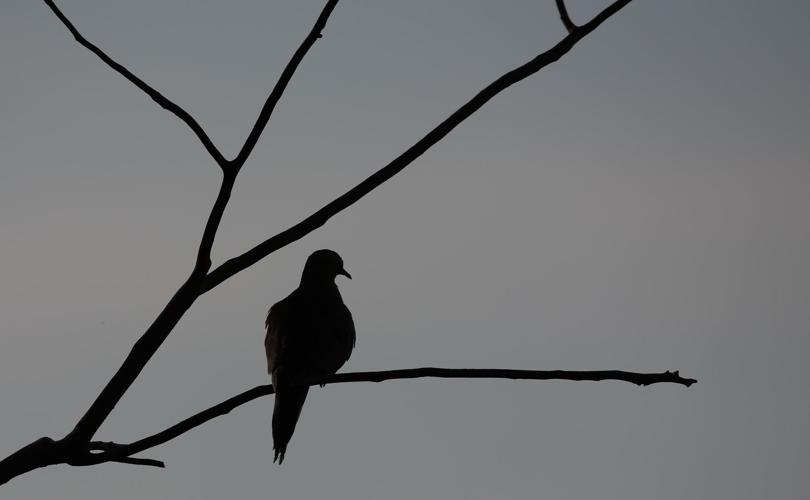 Mourning Dove silhouette